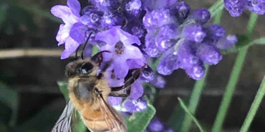 Summer Scents – Using Timeless  Lavender